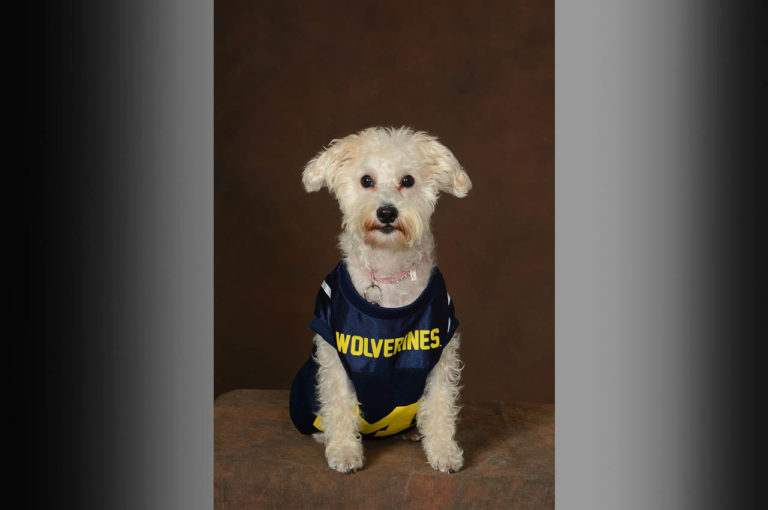 Dog-with- blue and yellow Wolverines-shirt on dark brown background