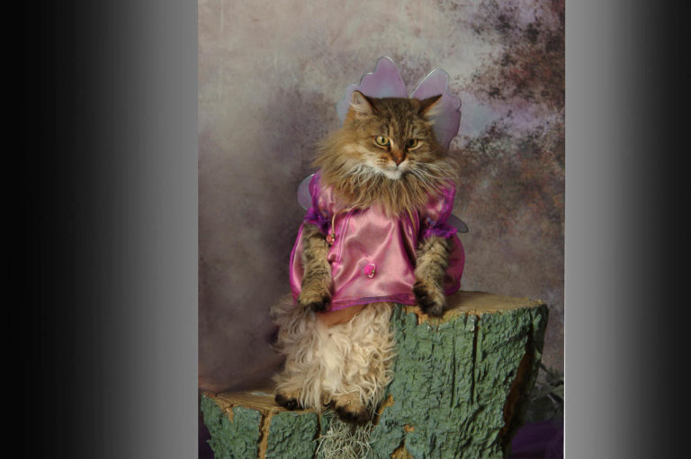 Fairy Muffin-Miniature-Main coon-cat with fairy wings sitting on true stump