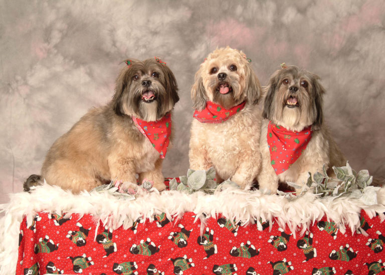 Festive-portrait-of-three-dogs-fresh-from-groomer