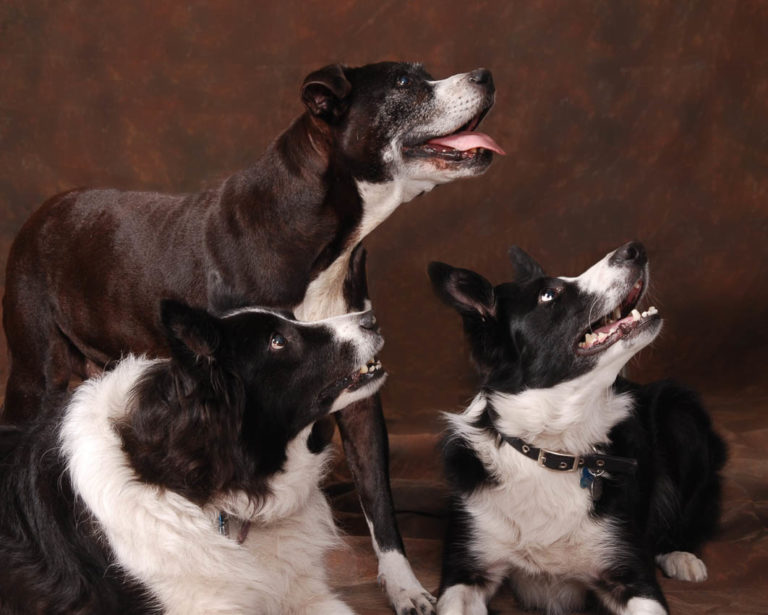 Portrait-three-dogs special friends and companions all are black and white