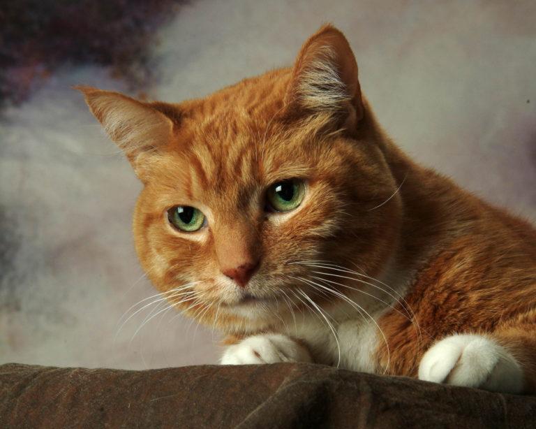 Spirit-Special-cat-portrait-female-tabby