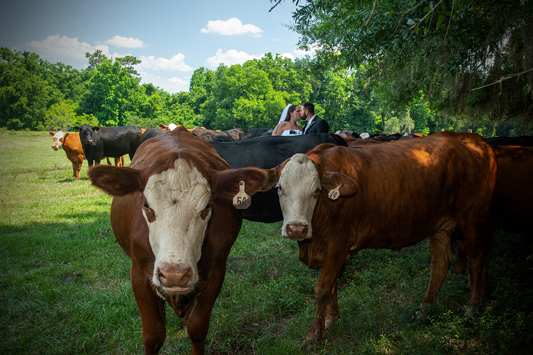 Bride and groom kissing among a heard of cattle with blue sky